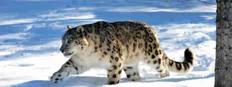 Snöleopard som går i snön