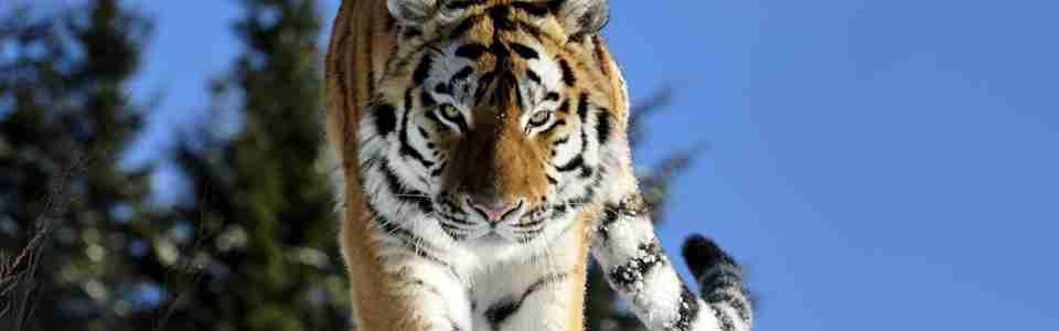 Tiger som går i snön