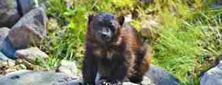 Järv sitter på en sten i skogen Orsa Rovdjurspark