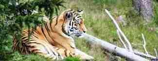 Orsa Rovdjurspark tiger