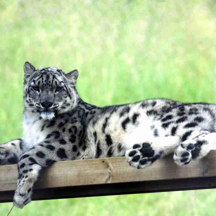 Snöleopard vilar i rovdjursparken
