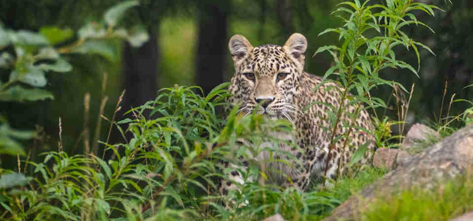 Persisk leopard i Orsa Rovdjurspark